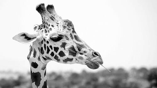 giraffe-head-500.jpg