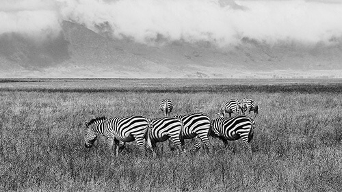 zebras-mountains-500.jpg